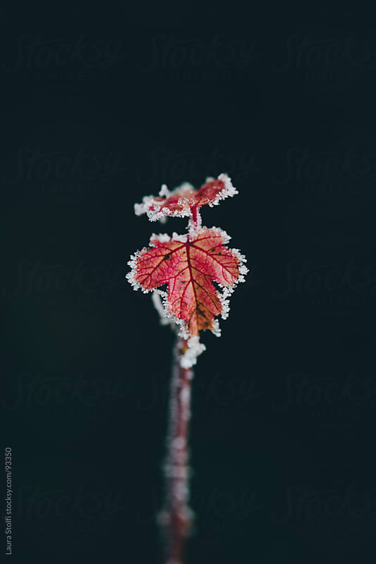 Close-up of red frozen leaf standing alone on the branch on dark and shady background by Laura Stolfi for Stocksy United