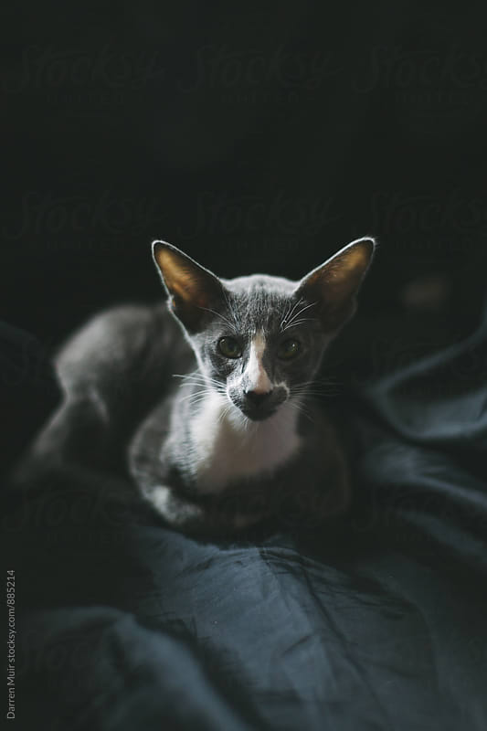 Handsome short hair oriental kitten sitting and looking at camera on a dark background. by Darren Muir for Stocksy United