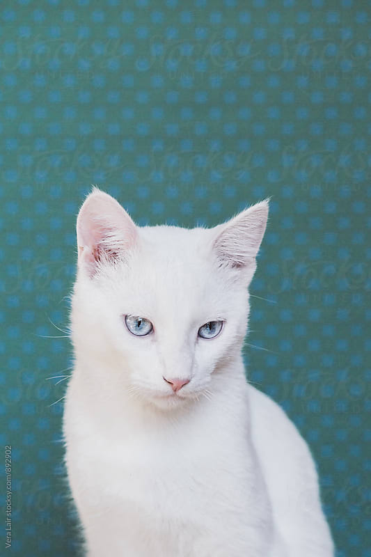 Portrait of a beautiful white cat by Vera Lair for Stocksy United
