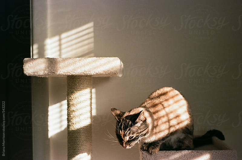 Yawning Cat Sitting on a Cat Tower in the Sunlight by Briana Morrison for Stocksy United