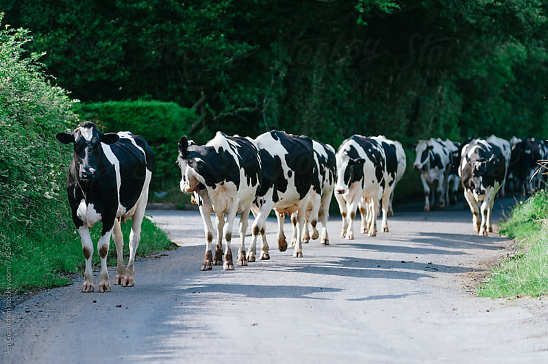 Cows marching up the road in Wales by Jen Grantham for Stocksy United