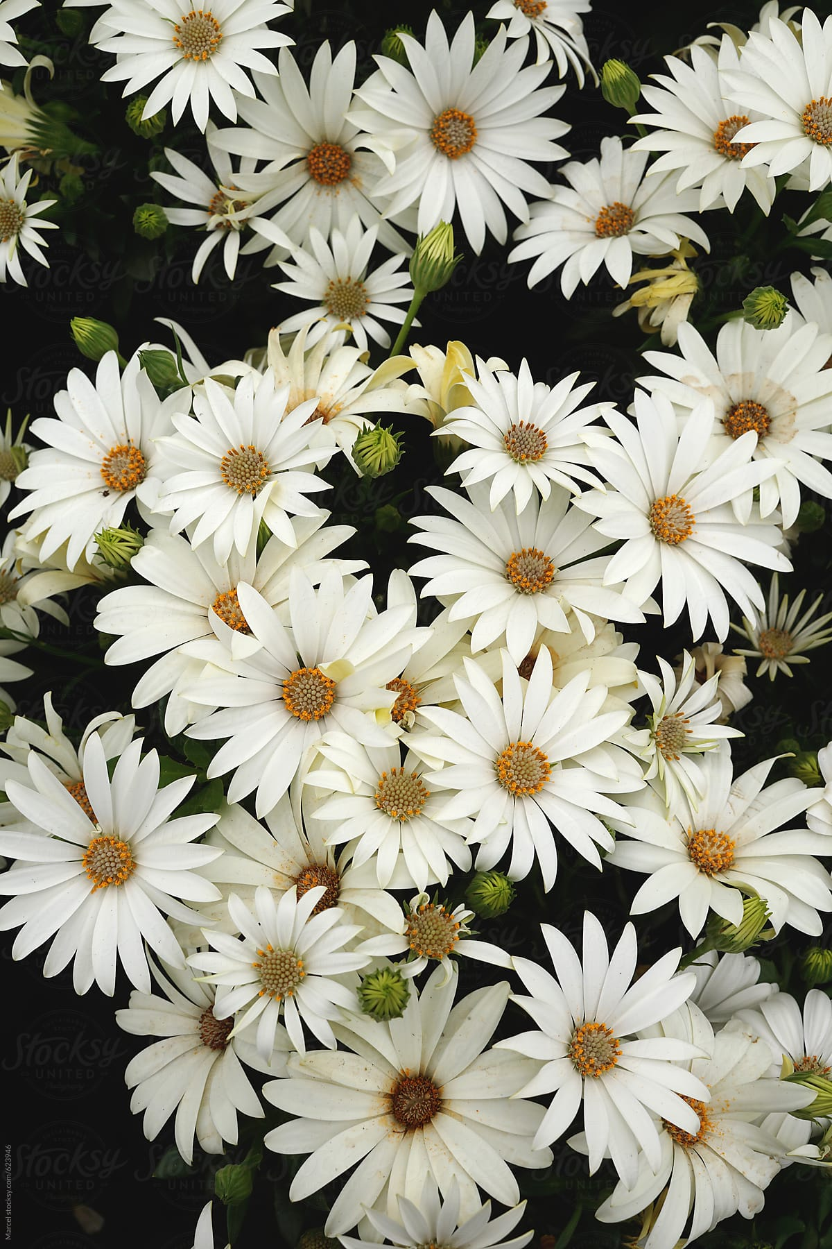 Summer Flowers Background Of White African Daisies Stocksy United