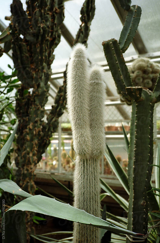 Bushy cactus in a greenhouse by Dina Lun for Stocksy United