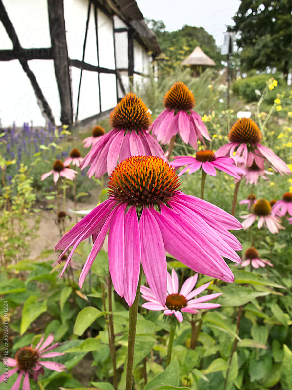 Rural garden with Echinacea blooming by Melanie Kintz for Stocksy United