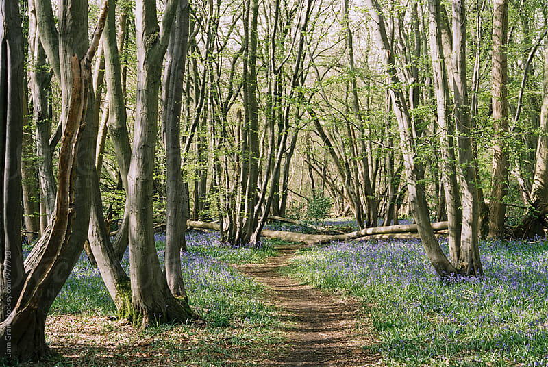 Path through bluebells in deciduous woodland. Wayland wood, Norfolk, UK. by Liam Grant for Stocksy United