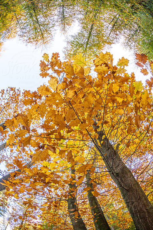 Wide Angle Shot of the Trees Seen From the Ground by Mosuno for Stocksy United