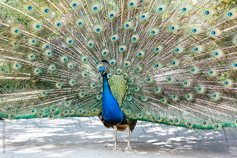 Male peacock displaying his feathers during courtship - horizontal by Jacqui Miller for Stocksy United
