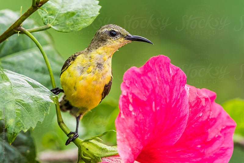 Olive-backed sunbird female by Song Heming for Stocksy United