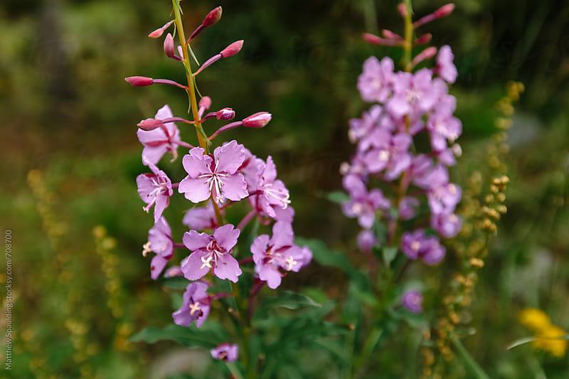 Purple wildflowers by Matthew Spaulding for Stocksy United