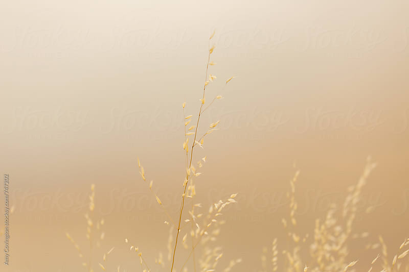 Dry grass with a smoke filled background by Amy Covington for Stocksy United