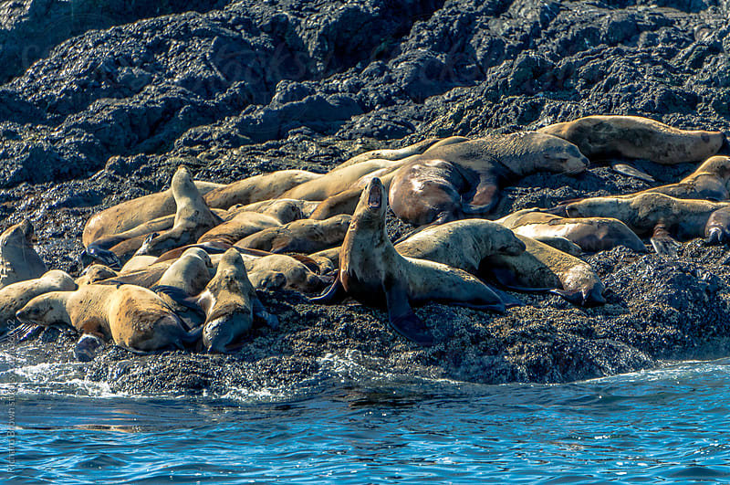 Sea lions basking on the rock on a sunny day by Richard Brown for Stocksy United