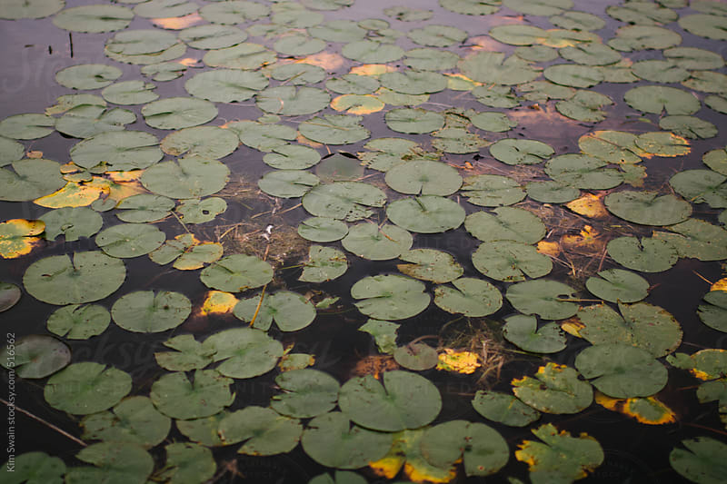 Lots of Lily Pads by Kim Swain for Stocksy United
