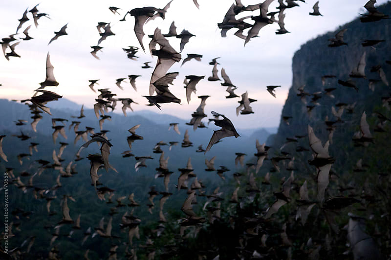 Wrinkle-lipped bats fly out of a cave at dusk.  by Amos Chapple for Stocksy United