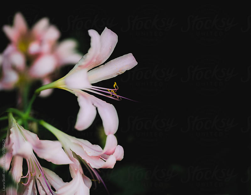Nerine Bowdenii flower in bloom against very dark foliage by Laura Stolfi for Stocksy United