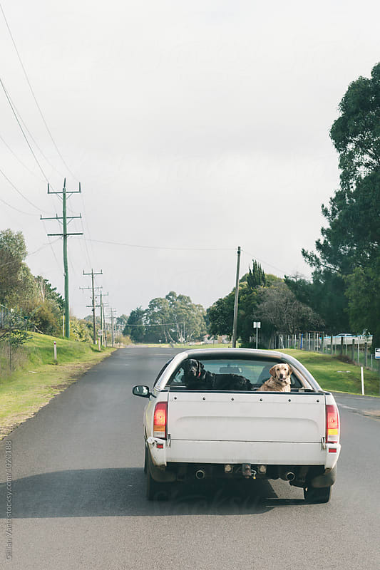 dogs in the back of a ute in rural Australia by Gillian Vann for Stocksy United