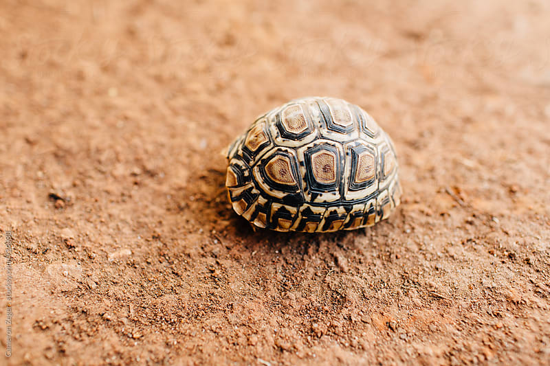young tortoise hiding in shell in Tanzania by Cameron Zegers for Stocksy United