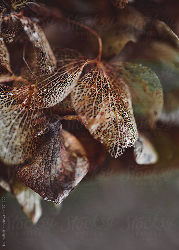 Like a web: withered hydrangea petals