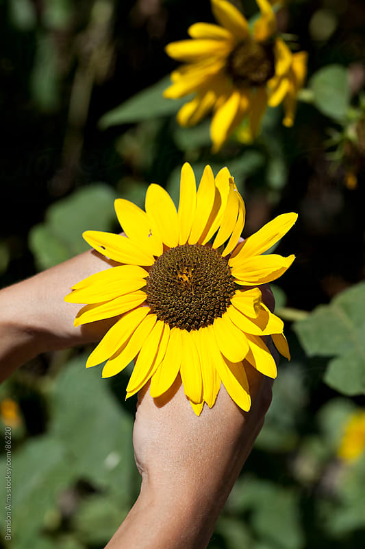 Hands Holding a Sunflower by Brandon Alms for Stocksy United