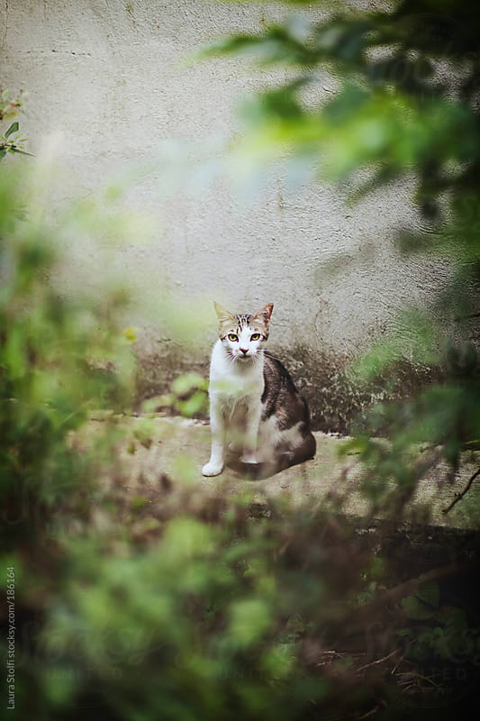 Slim young cat sits in garden and looks straight at the camera by Laura Stolfi for Stocksy United