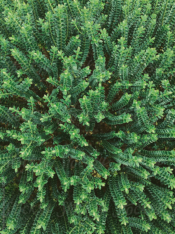 Close up of green ground cover plants by Paul Edmondson for Stocksy United