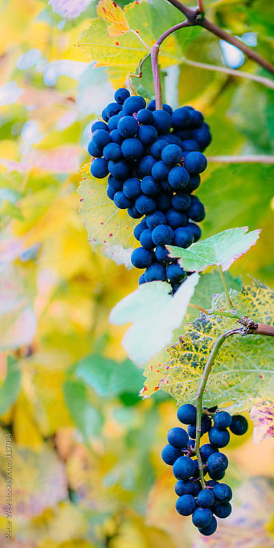 red wine grapes by Peter Wey for Stocksy United