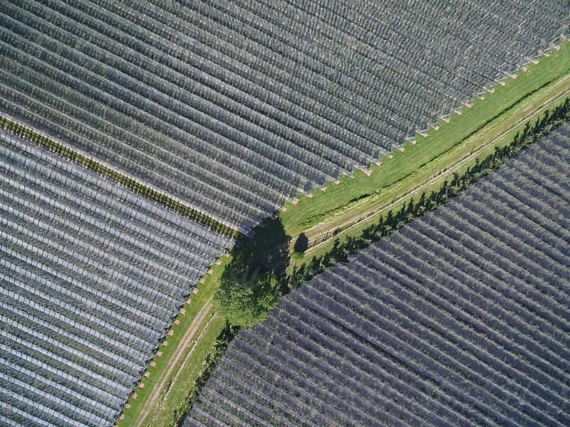 Aerial view from drone on green road between apple orchards by rolfo for Stocksy United