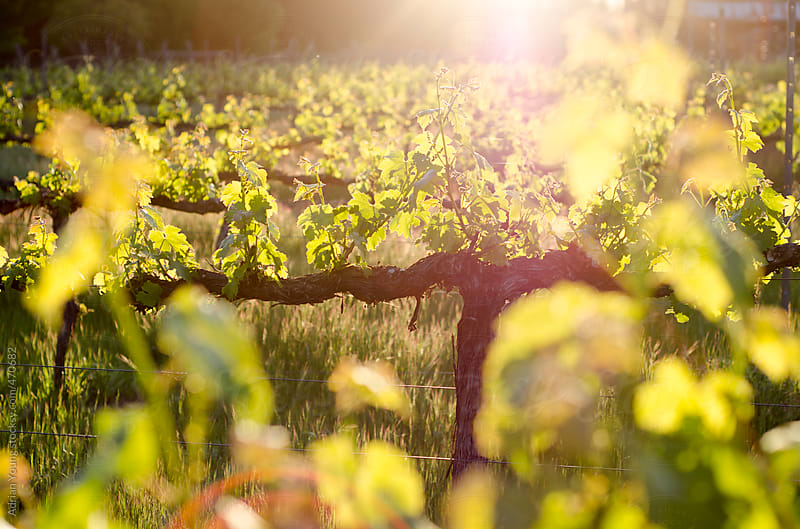 Grape vines backlit by the setting sun by Adrian P Young for Stocksy United