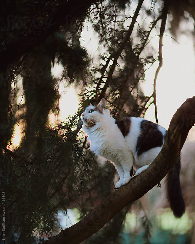 Siberian cat on conifer tree branch at dusk by Laura Stolfi for Stocksy United