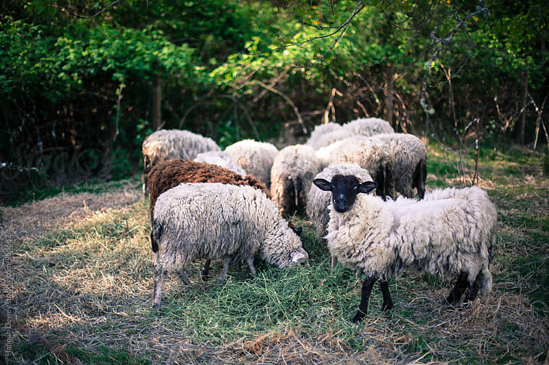 Sheep eating their morning hay on a farm by Hannah Dewey for Stocksy United