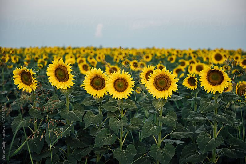 field of blooming sunflowers by Adrian Cotiga for Stocksy United