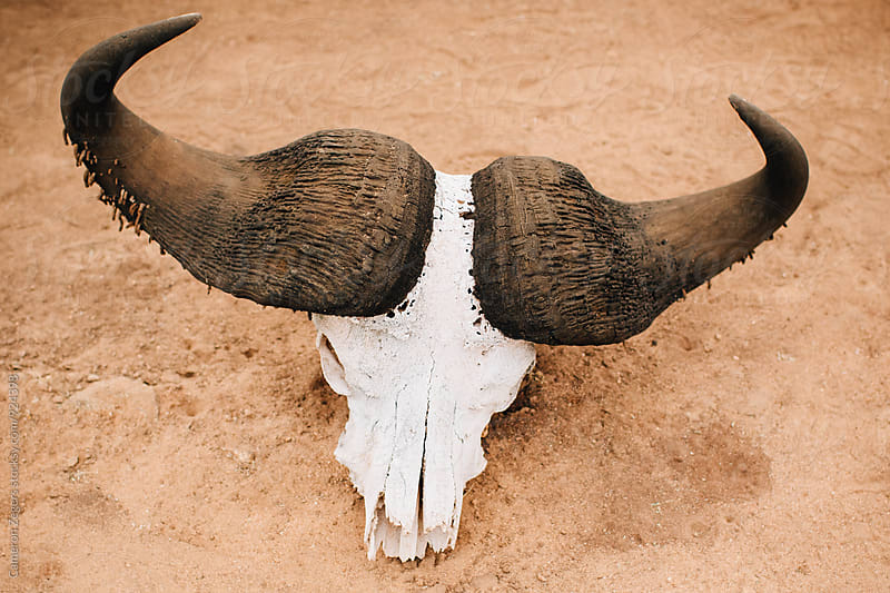 buffalo skull in Tanzania by Cameron Zegers for Stocksy United