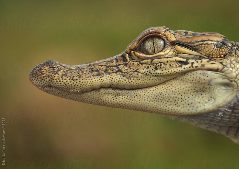 Baby Gator by Eric James Leffler for Stocksy United