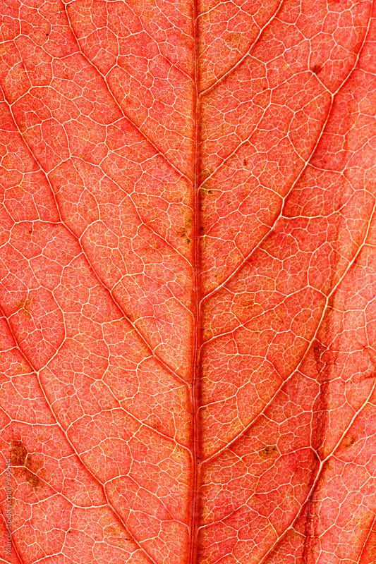 Backlit autumn leaf turning red in fall by Marcel for Stocksy United
