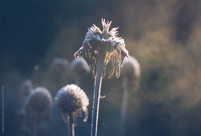 Hoar frost on architectural seedheads in a winter garden. by Helen Rushbrook for Stocksy United