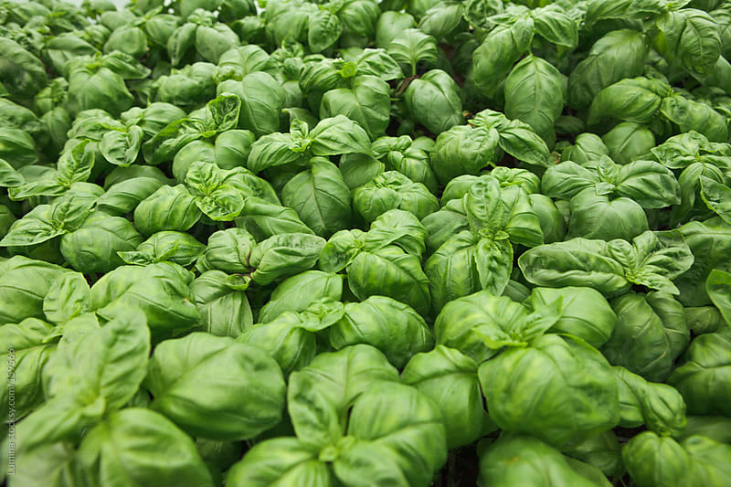 Organic Basil by Lumina for Stocksy United