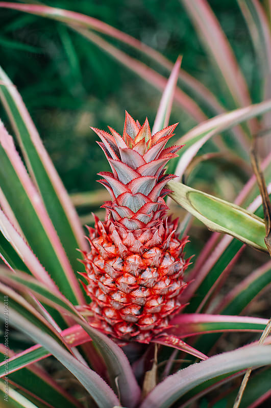 Pineapple Growing  by Alexander Grabchilev for Stocksy United