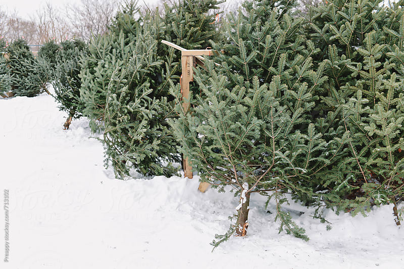 Freshly cut Christmas trees for sale by Preappy for Stocksy United