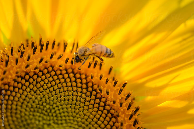 Honeybee at Work on a Sunflower by Rob Sylvan for Stocksy United