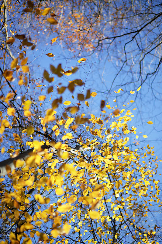 Vibrant Yellow Autumn Trees On A Clear Day by ALICIA BOCK for Stocksy United