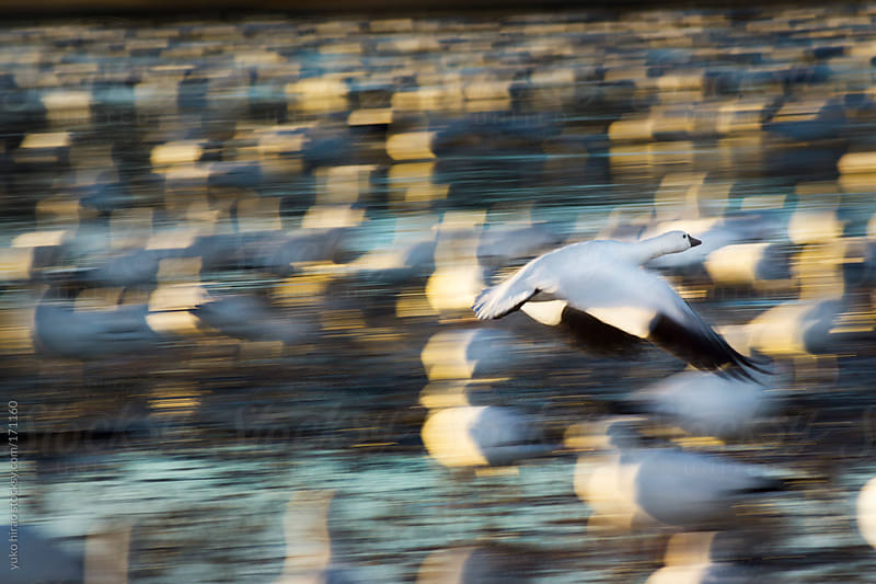 Snow goose in flying motion  by yuko hirao for Stocksy United