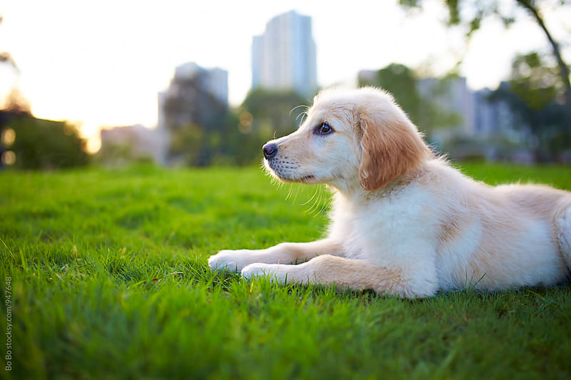 young Golden Retriever outdoor by Bo Bo for Stocksy United