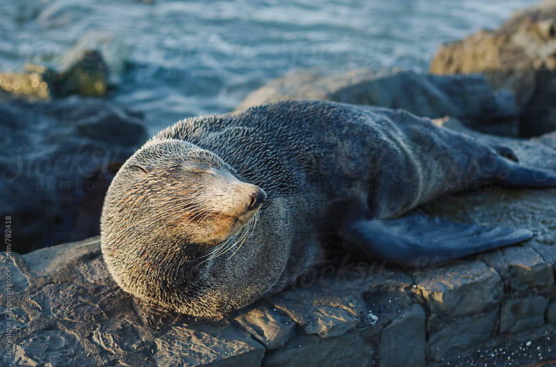 New Zealand Fur Seal resting on beach  by Dominique Chapman for Stocksy United