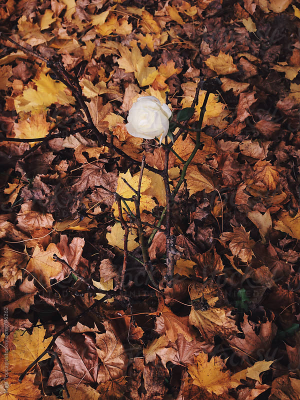 Beautiful white rose in autumn leaves by Maja Topcagic for Stocksy United