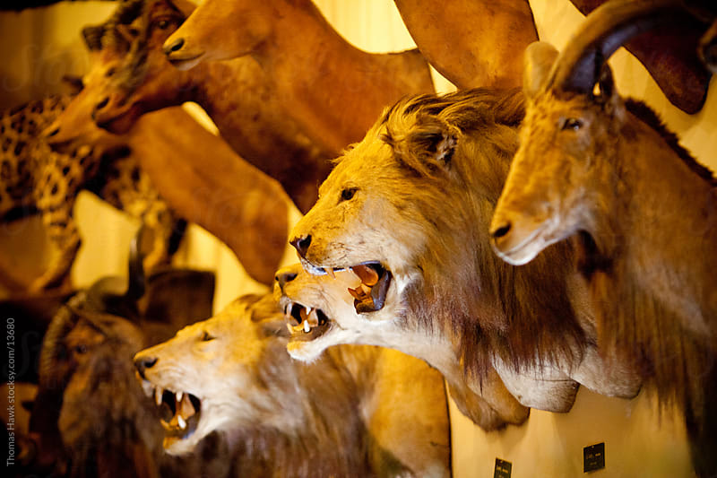 Taxidermy, various animals by Thomas Hawk for Stocksy United
