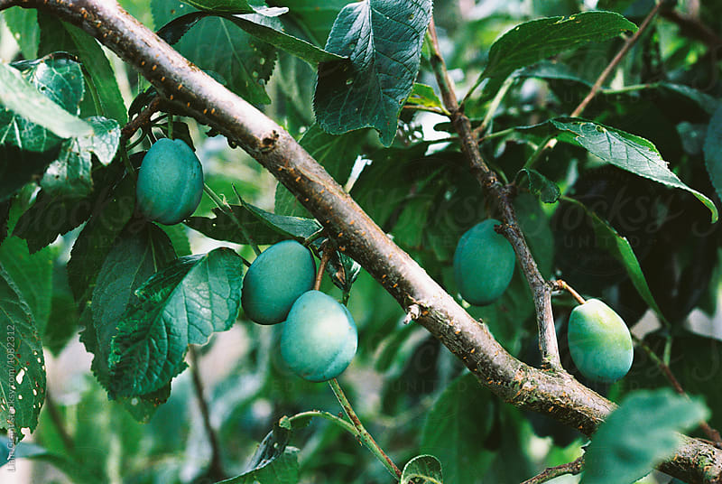 Homegrown Victoria Plums in a tree. Norfolk, UK. by Liam Grant for Stocksy United