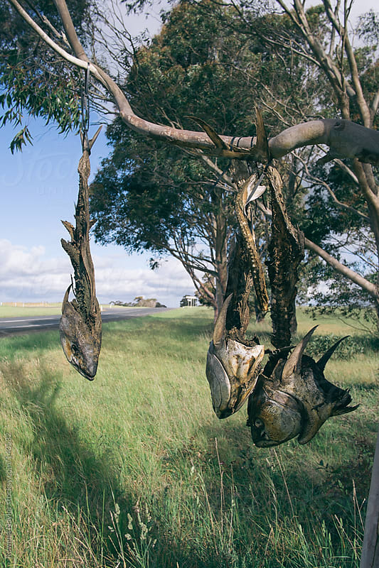 Fish Hung for the Wild Crows to Feed by Rowena Naylor for Stocksy United