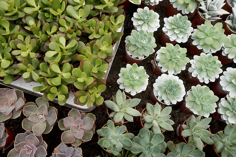 Succulents for sale by Marcel for Stocksy United