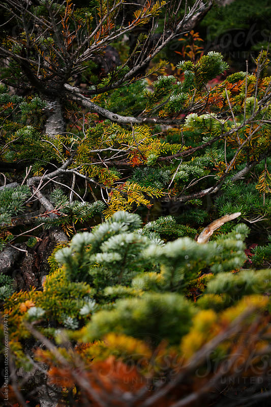 Colorful Subalpine Fir Tree Branches In Forest by Luke Mattson for Stocksy United