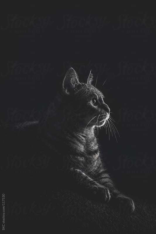 Dark, Moody, Pet Photography of a Tabby Cat by suzanne clements for Stocksy United