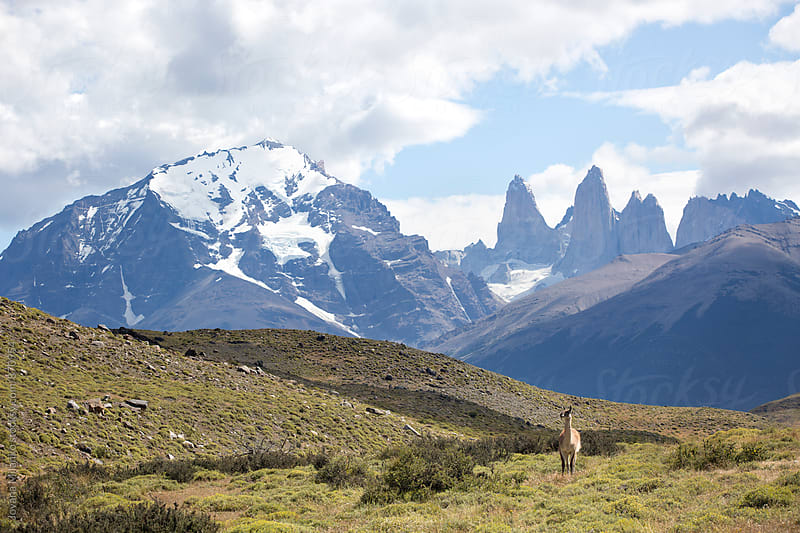 Guanaco in Torres del Paine National Park by Jovana Milanko for Stocksy United